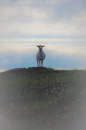 Mount Joy, PA: Sheep