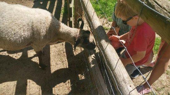 Friendly Farm: Feeing the sheep