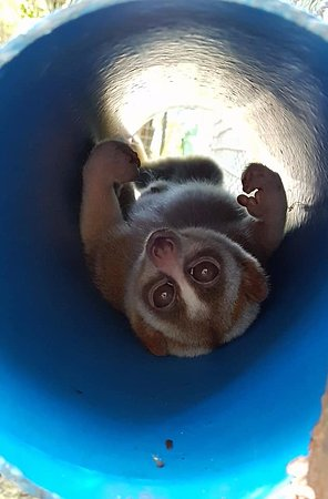 Tha Yang, Thailand: Slow loris, awake during the daytime - a rare treat to capture this!