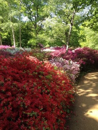 Richmond-upon-Thames, UK: The Azalea gardens in bloom