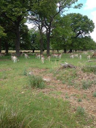 Richmond-upon-Thames, UK: A herd of Fallow deer grazing