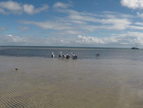 North Stradbroke Island, Australia: Pelicans on the beach