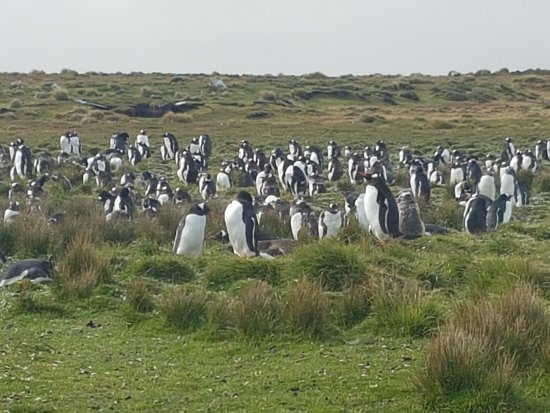 Stanley, Falkland Islands: Penguins at Berthas Beach
