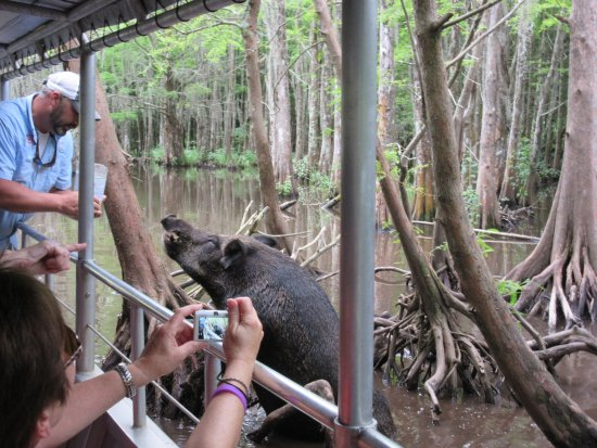 Slidell, LA: Cajun Encounters-Honey Island Swamp Feral Pig Feeding Time