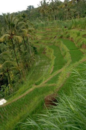 Kerobokan, Indonesia: atv rice fields views