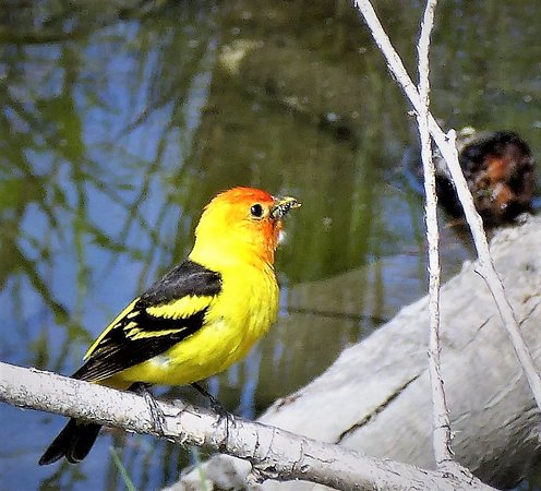 Sequim, Вашингтон: Western tanager near bridge