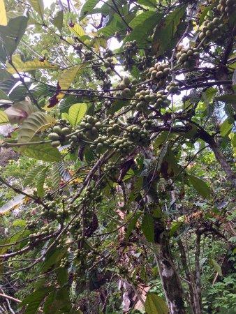 Gitgit Waterfall: Деревья кофе с плодами по дороге к водопаду