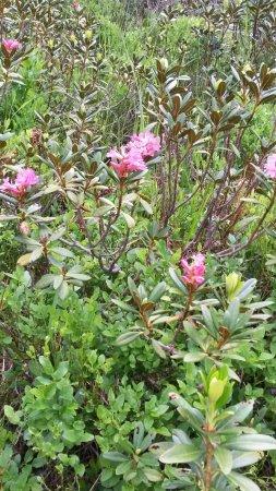 Arolla, Suíça: rhododendrons sur le magnifique sentier didactique des Arolles, départ derrière l'hôtel