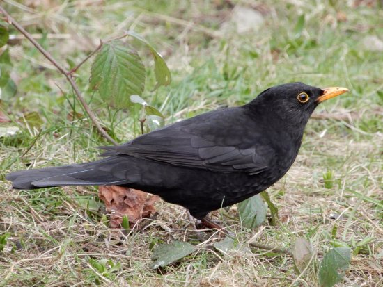 Frankby, UK: Blackbird.