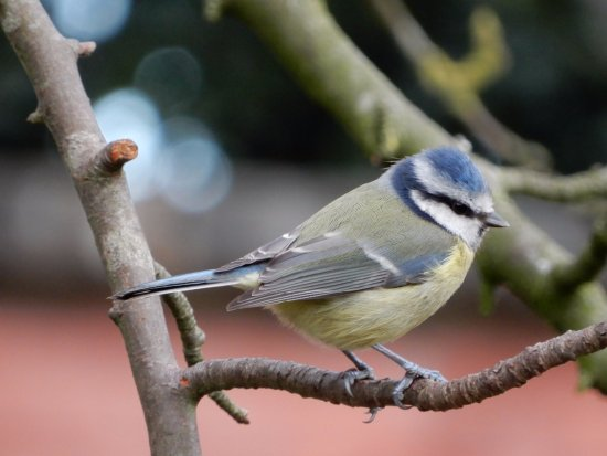 Frankby, UK: Blue Tit.