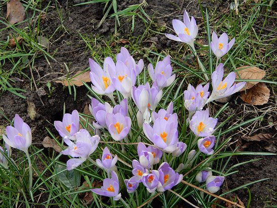 Frankby, UK: Crocus.