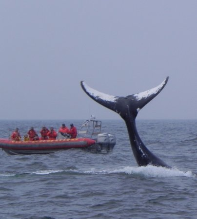 Tiverton, Kanada: Tails are popular!  ... only some species lift their tails though (like this humpback)