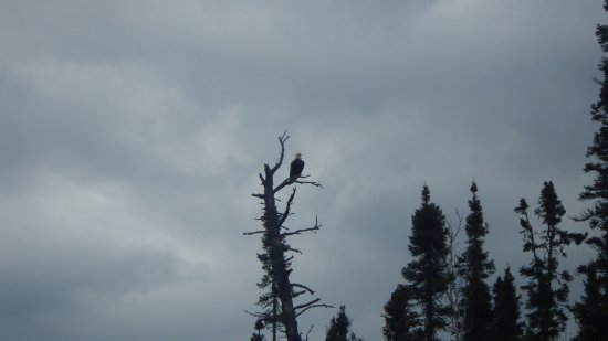 Grand Marais, MN: Bald eagle keeping an eye on us as we paddle by