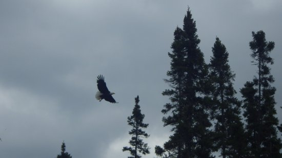 Grand Marais, MN: Bald eagle takes wing