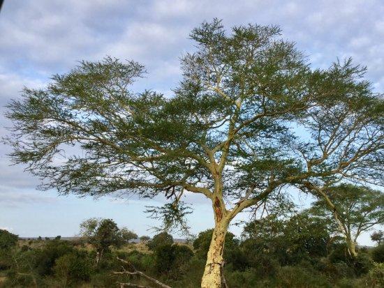 Komatipoort, South Africa: Árvore de amarula