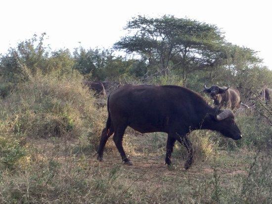 Komatipoort, South Africa: Búfalos