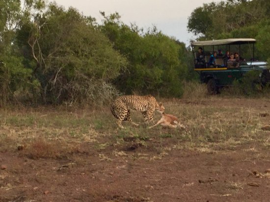 Komatipoort, South Africa: Guepardo é sua presa