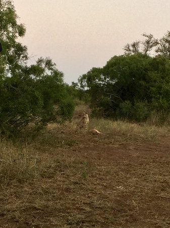Komatipoort, Νότια Αφρική: Chamando os filhotes uivando