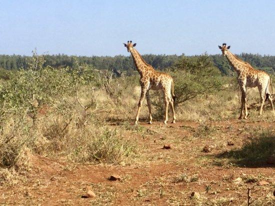 Komatipoort, South Africa: Elegantes girafas
