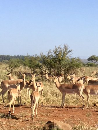 Komatipoort, Νότια Αφρική: Gnous