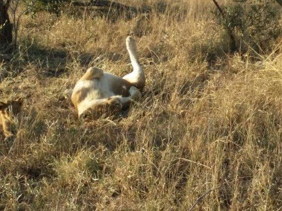 Timbavati Private Nature Reserve, Sydafrika: IMG-20170622-WA0027_large.jpg