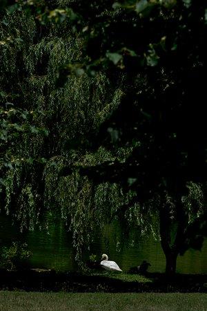 Milton, Nowy Jork: Our swan pond