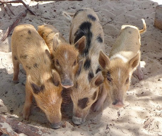 baby pigs on no name cay feeding time picture of abaco tours
