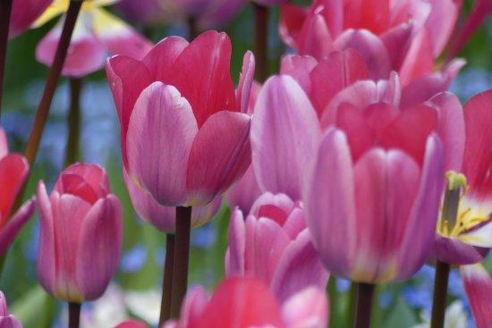Butchart Gardens: Tulips Everywhere!!!!