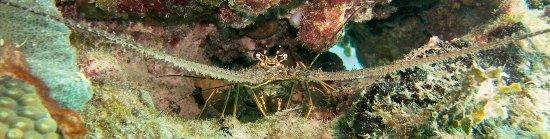 Cayo Coco, Kuba: Lobster