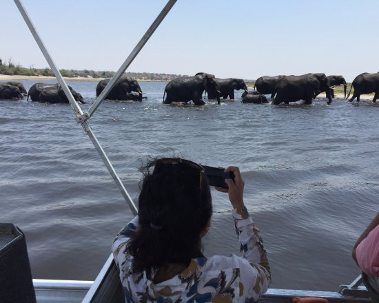 Kasane, Botswana: Elephants wading in the Chobe River, Botswana