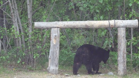Trapper Creek, AK: Black Bear in the Grounds