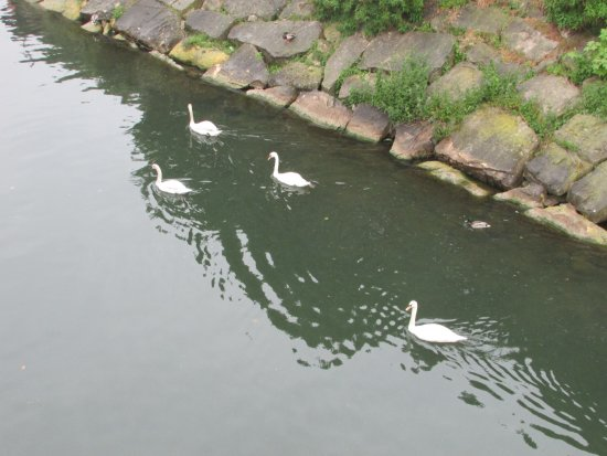 Conflans Sainte Honorine, Γαλλία: nice swans on the Seine
