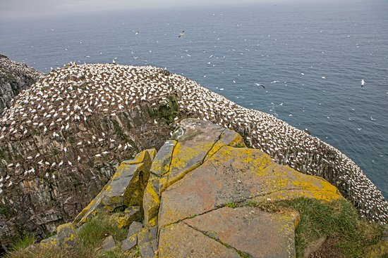 St. Bride's, Canadá: The gannet colony