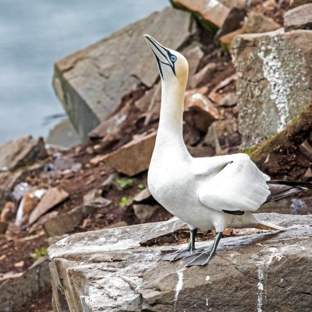 St. Bride's, Канада: The gannets.