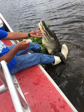 Marrero, LA: 9 foot gator interacting with Capt Randy
