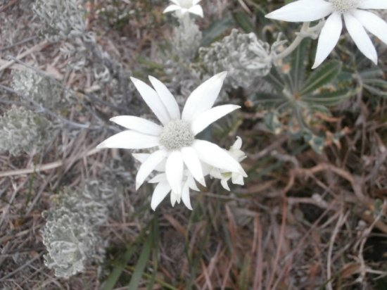 Manly, Australia: Flannel Flowers in the historic Cemetry