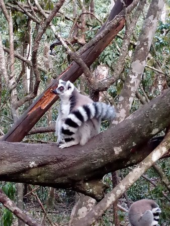 The Crags, Sudáfrica: Ring tailed lemurs at Monkeyland