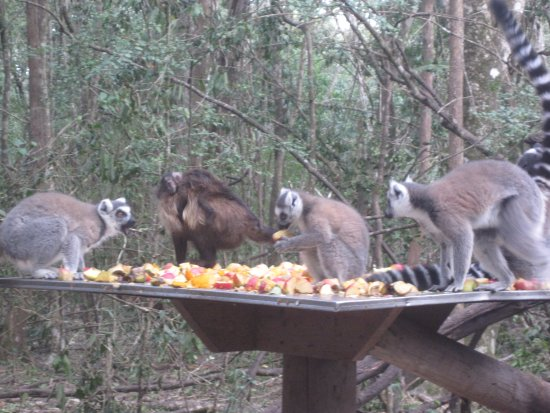 The Crags, Sudáfrica: At a food station in Monkeyland