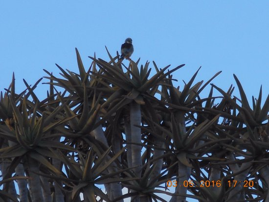 Keetmanshoop, Namibia: Quiver tree with pygmy falcon
