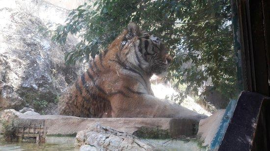 La Barben, France: Tigre