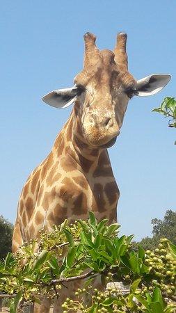 La Barben, France: Girafe