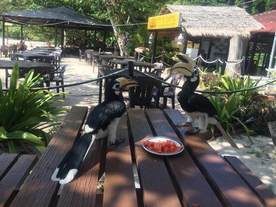 Pulau Pangkor, มาเลเซีย: lots of hornbills