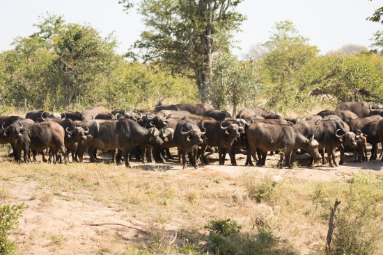 Timbavati Private Nature Reserve, South Africa: Buffalo from camp