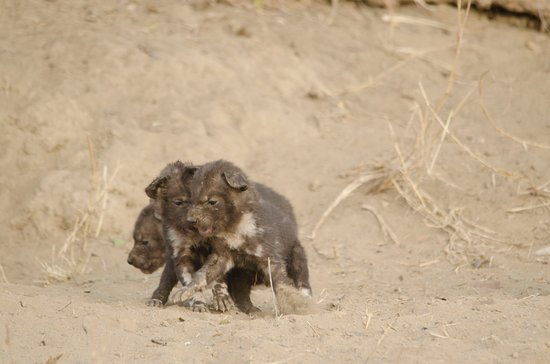 Timbavati Private Nature Reserve, South Africa: African Wild Dog pups