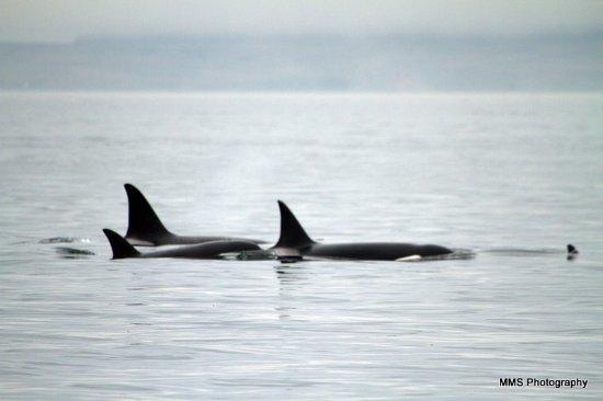 Anacortes, WA: Orca Pod