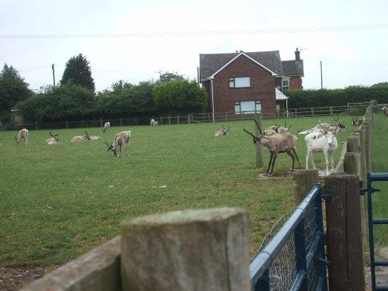 Rugeley, UK: Reindeer at the tea room farm.