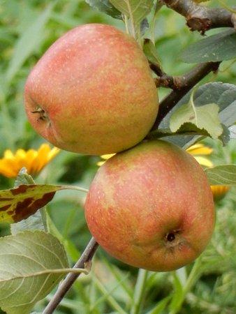 Upton House: Apple tree.