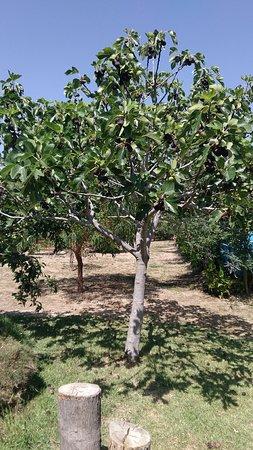 Trouillas, France: Les arbres non traités produisent els fruits que vous pouvez déguster à la buvette