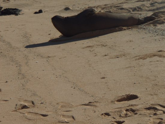 Kahuku, Havai: The resident seal chilling on Turtle Bay Beach