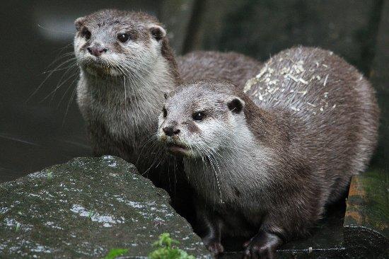 Chapel-en-le-Frith, UK: Asian Short Claw Otters